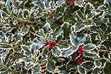 Ilex aquifolium 'Argentea Marginata' silver-margined English holly 3 potted plants evergreen (TC product)