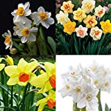 400Pcs Mixed Daffodil Double Narcissus Duo Bulbs Seeds Spring Plant Flower BD80