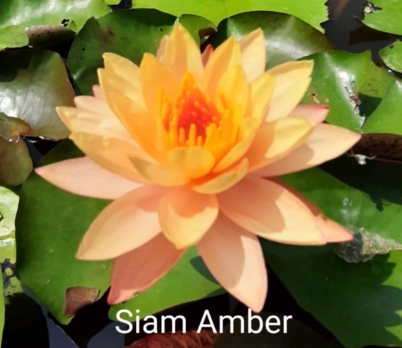 Live Trading Company Siam Amber Water Lily Amazon In Home Kitchen
