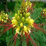 Caesalpinia Gilliesii Yellow Bird of Paradise Seeds