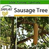 SAFLAX - Sausage Tree - 10 Seeds - with Soil - Kigelia pinnata VAR. africana