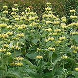 30 Seeds of Perennial Phlomis russeliana - Hardy Jerusalem Sage. Clusters of hooded pale yellow flowers in multiple tiers!