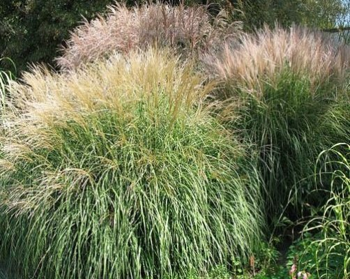 Top 10 best ornamental grass seeds top reviews no for Top ten ornamental grasses
