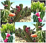 20 x PERUVIAN APPLE CACTUS - Cereus repandus SEEDS - Fig Cactus - EDIBLE FRUITS High In Vitamins and Antioxidants - Night Blooming - By MySeeds.Co