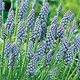 2pcs/lot Muscari armeniacum 'Saffier' Grape hyacinth bulbs bonsai plant DIY home garden #M001