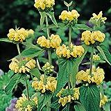 25 seed of Phlomis Jerusalem Sage Flower