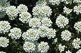Iberis Sempervirens - SNOWFLAKE -Evergreen Candytuft -Drought Tolerant- 50 Seeds