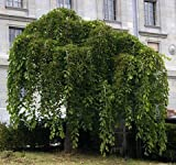 HEIRLOOM NON GMO Weeping Mulberry 25 seeds