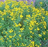 300 Mexican Tarragon Seeds, Mexican Mint ,Herb,thrives it hot humid climate!