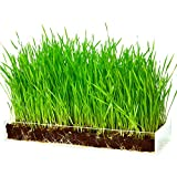 Organic Wheatgrass Growing Kit with Style - Plant an Amazing Wheat Grass Home Garden, Juice Healthy Shots, Great for Pets, Cats, Dogs. Complete with Stunning Tray and Accessories. Great Gift.