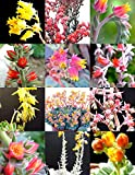 FLOWERING ECHEVERIA mix, rare exotic succulent HEN & CHICKS flower seed 20 seeds