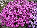 Seeds Flowers Aubrieta hibrida Pink Creeping from Ukraine 0.1 Gram