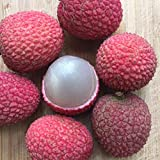 New and Healthy Lychee Potted Starter PLANT Tropical Fruit Tree Litchi Seedling Bonsai