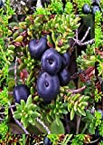 5 Black Crowberry Seeds UNUSUAL GROUNDCOVER BERRIES