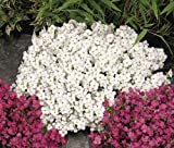 "SNOWCAP 'Wall-Rock Cress' ~White~ ""Arabis Alp. Caucasica"" 25+ Perennial Seeds"