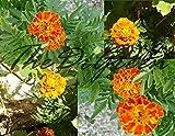 60 Marigold French Dwarf Mixed Color Orange Yellow Bronze Gold Flower Organic