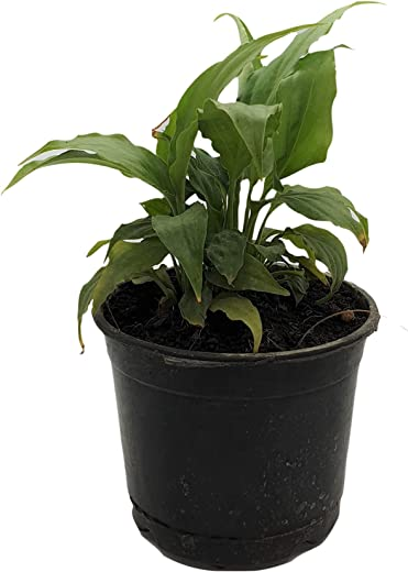 Root Bridges Peace Lily Spathiphyllum Indoor Plant (Pot Included)