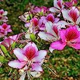 10 Seeds Bauhinia variegata Pink or Variegated Orchid Tree