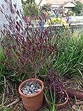 Live Purple Hopseed Bush aka Dodonaea v. 'Purpurea' Patio Plant Fit 05 Gallon Pot