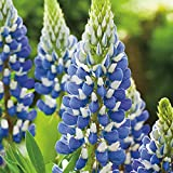 Kings Seeds - Lupin Russell The Governor - Navy Blue - 30 Seeds