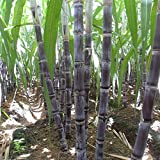 100pcs Sweet Sugar Cane Saccharum Sugarcane Seeds 6-18 Feet Tall