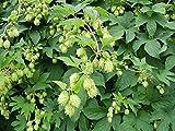 15 Seeds Humulus lupulus (Hops) Vine Plant