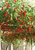 Heirloom NON GMO Giant Italian Tomato Tree 25 Seeds