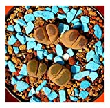Lithops terricolor - syn: Mesembryanthemum terricolor - 15 seeds