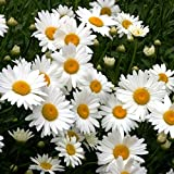 David's Garden Seeds Flower Daisy Shasta Alaska SL8723 (White) 500 Non-GMO, Heirloom Seeds
