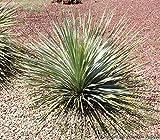 Desert Spoon Aka Dasylirion Wheeleri Live Plant Cactus Plant Fit 01 Gallon Pot