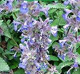 Mentha Arvensis (Field Mint / Wild Mint or Corn Mint) 300 Seeds