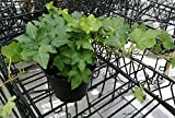 "Fresh Live Deep Green Hedera Ivy, Trailing Ivy 4"" Potted Plant"