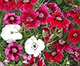 2000 Dianthus chinensis Seeds- BABY DOLL MIX ,Crimson/ Rose/Red/White/ Bicolors.