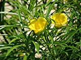 10 Thevetia peruviana Seeds , Lucky Nut, Yellow Oleander, Mexican Oleander Tree Seeds