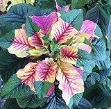 Joseph's Coat Amaranthus Tricolor Amaranth Summer Poinsettia Premium Seed Packet