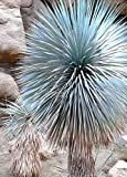 BEAKED YUCCA, yuca rostrata Big Bend agave garden aloe tree like seed 50 SEEDS