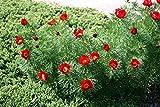 5 Seeds of Paeonia Tenuifolia Fernleaf Peony Red Flowers