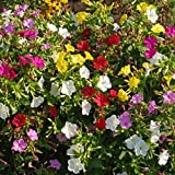 Outsidepride Four O'Clock Flower Seed Plant Mix - 1/4 LB
