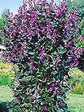 Hyacinth Bean - 6 Seeds - Organically Grown - NON-GMO
