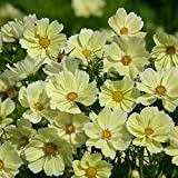 Kings Seeds - Cosmos Bipinnatus Xanthos - 30 Seeds
