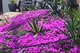 1 gallon - Delosperma cooperi (HARDY ICE PLANT), Vibrant purplish pink 2-inch flowers on green foliage, BLOOMS for a very long period, dwarf perennial plant
