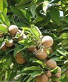 Manilkara zapota Chicle Tropical Tree 7 Seeds! Chewing Gum! Sapodilla New Harvest