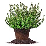 Rose Creek ABELIA - Size: 3 Gallon, Live Plant, Includes Special Blend Fertilizer & Planting Guide