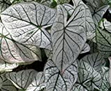 Caladium White Christmas 3 Bulbs - White/Green Veins