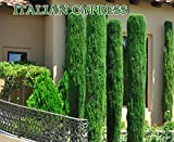 Italian cypress (Cupressus sempervirens)100 Seeds,Tuscan, or Graveyard Cypress