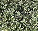 "Coconut Thyme Plant - Thymus 'Coccineus' - Live Plant - 3"" Pot"