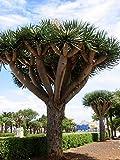 8 Dragon Tree Seeds (Dracaena Draco, Dragon's Blood)