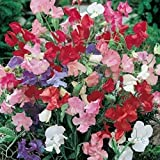 David's Garden Seeds Flower Sweet Pea Bijou Mix 7741 (Multi) 50 Non-GMO, Heirloom Seeds