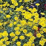 100 Yellow Marguerite Daisy (Anthemis Tinctoria Kelwayl) Seeds