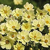 Xanthos Cosmo Seeds - 10+ Rare Seeds + FREE Bonus 6 Variety Seed Pack - a .95 Value! Packed in FROZEN SEED CAPSULES for Growing Seeds Now or Saving Seeds for Years